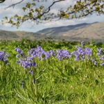 Spring bluebells in Patterdale