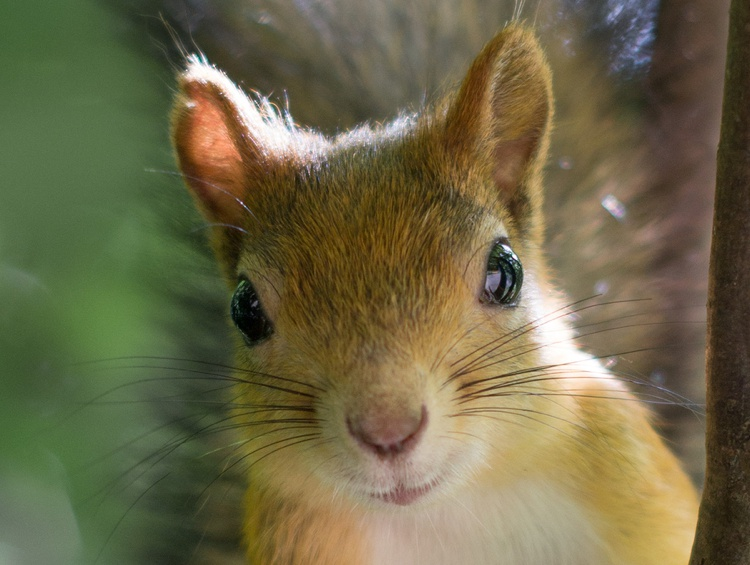 Closeup of a Red Squirrel