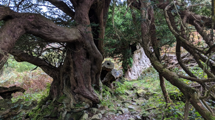 Two of the Ancient Yew Trees