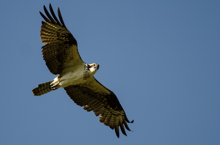 Osprey flying in the blue sky