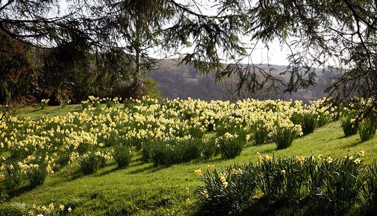 Spring Daffodil Display